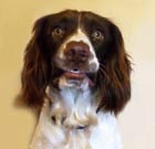 Borage is a young English Springer Spaniel who stays with us during the daytime, while his owner works.