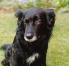 Basil - Border Collie - Rainbow Bridge