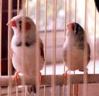 Dot and Dash -  Zebra Finches - Rainbow Bridge