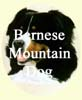 Bernese Mountain Dogs paintings - Dog portraits by Isabel Clark, pet portraits artist.