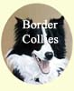 Border Collies paintings - Dog portraits by Isabel Clark, pet portraits artist.