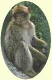 One of the Barbary Apes which inhabit the Rock
