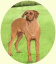 Click for larger image of Rhodesian Ridgeback