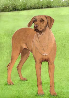 Pet Portraits - Rhodesian Ridgeback Sassy in Watercolours