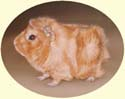 I also paint guinea pigs of course