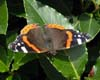 Red Admiral on Bay Tree, Tile Hill Village garden, Coventry