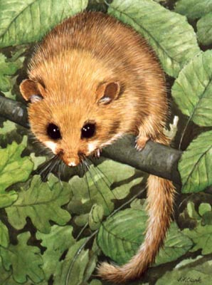 Pet and Animal Portraits from Your Own Photo - Hazel Dormouse in Watercolours